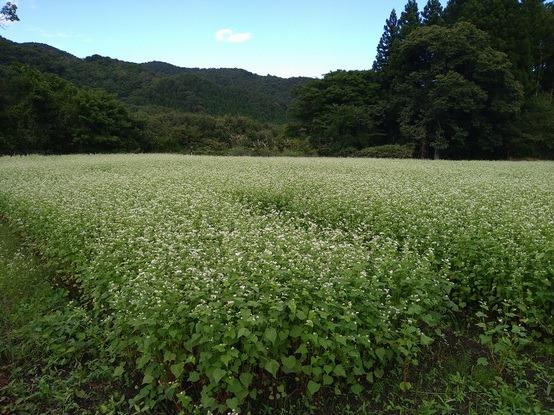 畑ではそばの花が満開でした。